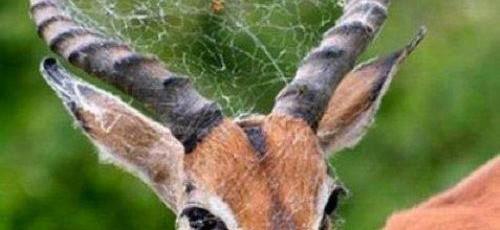 deerspider